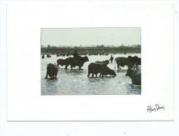 Afrique >TCHAD MOUNDOU Zébus Du Logone (zébu Animaux)   ( Editions : Du Damalisque Photo Alain Denis 420)*PRIX FIXE - Ciad
