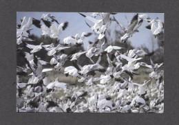 ANIMAL - ANIMAUX - OISEAUX - BIRDS - GRANDE OIE DES NEIGES - CHEN CAERULENSCENS - CAP TOURMENTE - PAR BENARD JOLICOEUR - Oiseaux