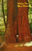 Hollow Tree, Muir Woods, California - United States