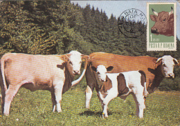 COWS, CALF, CM, MAXICARD, CARTES MAXIMUM, 1973, ROMANIA - Vaches