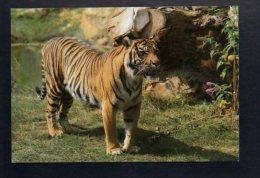 Animal - Tigre De Sumatra / Parc Zoologique De Doué La Fontaine - Tigres
