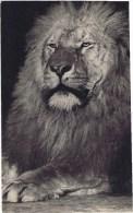 Cpa  PARC ZOOLOGIQUE Du Bois De Vincennes GROSSE TETE DE LION - Lions