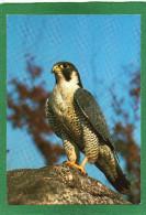 LE FAUCON PELERIN SUR UN ROCHER    CPM  Grd Format - Uccelli