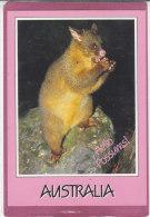 BRUSHTAILS POSSUM AUSTRALIA - Australie