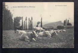 Agriculture - Elevage / Scènes Champêtres / Boeufs Charolais Au Pâturage - Breeding