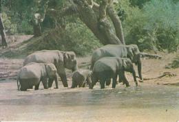 Family Group Of Wild Elephants Sporting In Water Ruhunu National Park Sri Lanka - Elephants