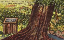 Arbor Vitae Tree,Estimated Age 1600 Years.  Natural Bridge, Virginia - United States