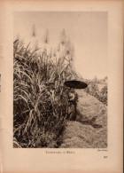 Zuckerrohr In Blüte - Druck, Entnommen Aus Velhagen Und Klasings- Monatsheften/ 1924 - Zeitungen & Zeitschriften