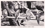 Australia 1950 Used Postcard, Kookaburras - World