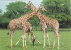 GIRAFFES POSTCARD - Girafes