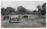 Angleterre - Hampshire - Lymington - Animaux - Chevaux - Poneys - Nex Forest Ponies - Bon état - Autres