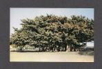 FLEURS - ARBRES - BANYAN TREE - PHOTO BY IRVING ROSEN - Arbres