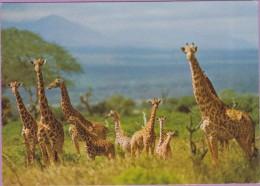 Jungle °° Girafes En Randonnée Et Non Pas En Rang D'oignons écrite Non Datée. - Giraffen