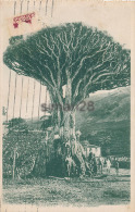 TENERIFE - ICOD - DRAGO MILENARIO (ARBRE) - Tenerife
