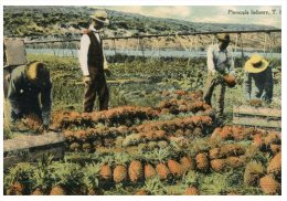 (PH 222) Very Old Postcard - Carte Ancienne - USA - Hawaii Island Farming - Pineapple - Cultures