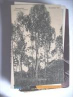 Tanzania Tanganyika Daressalam Eucalytus Tree - Tanzania