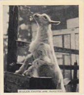Phillips Cigarette Card Our Favorites No 39 Goat Stealing Fruit - Phillips / BDV