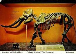 New  York  H93     Mastodon.Prohoscidean.Penbardy Museum , Yale University - Etats-Unis