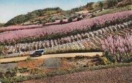 ILE DE LA REUNION - PAYSAGE DE LA REUNION- CHAMPS DE CANNES A SUCRE EN FLEURS (fourgonnette) - Réunion