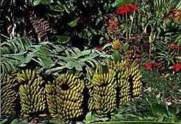 Diversos   H411         Recoleccion De Platanos ( Banane ) - Espagne