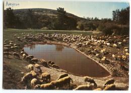 En Parcourant Les Causses - Le Troupeau De Moutons Autour D´une Lavogne - écrite Et Timbrée - 2 Scans - Elevage