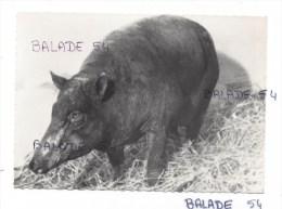 CPM - BABIROUSSA 70 Sorte De Cochon - Carte Pulbicitaire Laboratoire Roland Marie - Voir Scan - Cochons