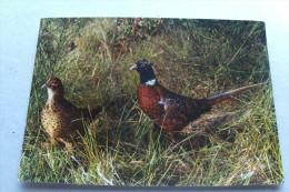 En Sologne - Promenade...couple De Faisans - Oiseaux