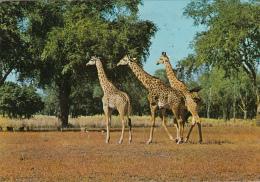 ZAMBIA - Giraffe - Zambia