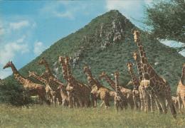 ZAMBIA - Giraffes - Zambia