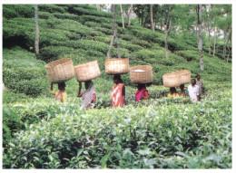 (333) Bangladesh - Tea Cultivation Picking By Womens - Bangladesh