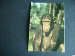 Pstk3439 : Amersfoort Dierenpark - Chimpansee - Amersfoort