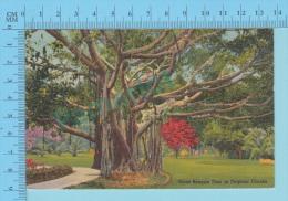 USA Florida ( Giant Banyan Tree  ) Linen Postcard CPSM 2 Scans - Arbres
