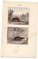 Authentique Gravure 19ème Mammifères Rongeurs Le Mulot Le Rat Perchal - Prints & Engravings