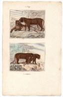 Authentique Gravure 19ème Mammifères Carnivores Le Tigre La Panthère - Prints & Engravings