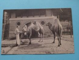 Jardin Des Plantes CHAMEAU Et DROMADAIRE ( 15 ) - Anno 1907 ( Voir/zie Foto Voor Details ) !!
