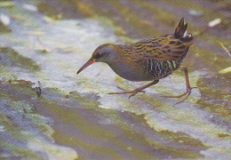 Carte Postale CP - Oiseau - RALE D´EAU - WATER RAIL Bird Postcard - WASSERRALLE Vogel / Suisse Sempach - 231 - Vögel