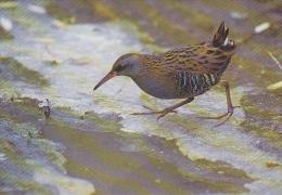 Carte Postale CP - Oiseau - RALE D´EAU - WATER RAIL Bird Postcard - WASSERRALLE Vogel / Suisse Sempach - 231 - Vogels