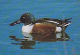CP Suisse Sempach - Oiseau - CANARD SOUCHET - SHOVELER Bird - LÖFFELENTE Vogel - MESTOLONE - 236 - Birds