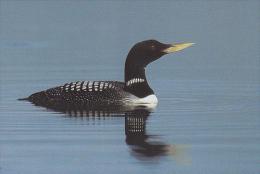 CP Suisse Sempach - Oiseau - PLONGEON A BEC BLANC - DIVER Bird - GELBSCHNABELEISTAUCHER Vogel - STROLAGA BECCOGIALLO 237 - Oiseaux