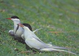 CP Suisse Sempach - Oiseau - STERNE PIERREGARIN - COMMON TERN Bird - SEESCHWALBE Vogel - STERNA Uccelli 239 - Birds
