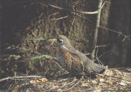 Carte Postale CP Suisse Oiseau - GELINOTTE DES BOIS / Sempach - HAZEL HEN Bird Postcard - HASELHUHN Vogel - 239 - Vogels