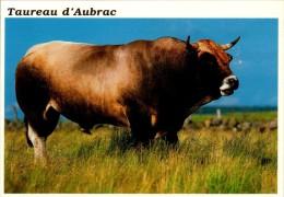 TAUREAU D(AUBRAC......CPM - Taureaux