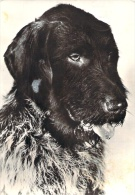 (FAUNA 1) - DOGS, CHIENS - Chiens