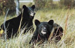NATIVE BLACK BEARS, Great Smoky Mountins Nationalpark (North Carolina, USA) - Gel.1966 - Etats-Unis