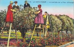 La Côte D'Azur - La Cueillette De La Fleur D'oranger - Carte Adia Non Circulée - Cultures