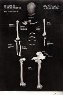 VÖLKERKUNDE / ETHNIC - Neandertaler Skelett - Europe