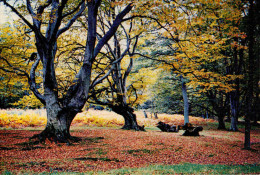 FOREST  OF  DEAN  OLD  BEECHES NEAR  LYDBROOK       (NUOVA) - Inghilterra