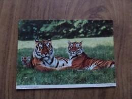 50135 POSTCARD: ANIMALS. TIGERS: Tigers And Cub At Longleat. - Tigers