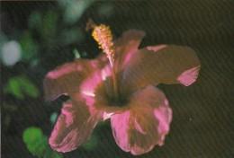 Palau Edobo Temengil Melek Dobes Beautiful Hibiscus - Palau