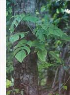 Palau Edobo Temengil Melosb A Tiul Philodendron Vine In Tree - Palau